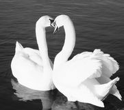 Two Swans In Love royalty free stock photos