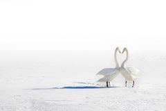 Two swans in love on a snowy field. Two swans in love on a bright white snowy field stock photography