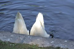 Two swans lowered their heads deep into the water stock photo