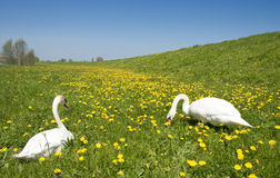 Two swans in meadow Royalty Free Stock Photos