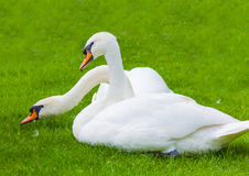 Two swans in nature Royalty Free Stock Images