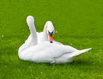 Two swans in the nature of life Royalty Free Stock Photography