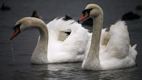 Two swans near the ferry, Chornomorsk, Ukraine royalty free stock photography