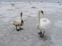 Two swans,one is covered with oil Royalty Free Stock Photo