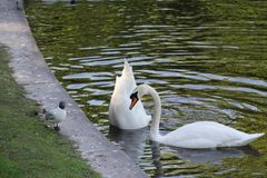 Two swans, one lowered his head deep into the water stock photography