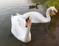 Two swans in a pond in nature Stock Photography