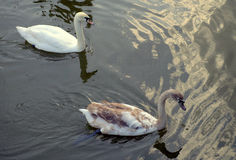 Two swans in a pond. Royalty Free Stock Photography