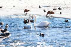 Two swans in a pond Royalty Free Stock Photo
