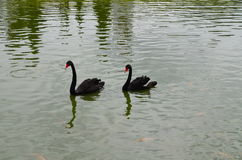 Two swans. On the pool in the garden Stock Images