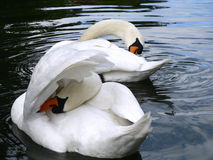 Two Swans preening Stock Images
