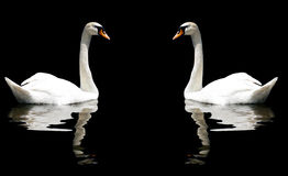 Two Swans. Reflecting in the lake Stock Photos