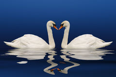 Two swans with reflection Royalty Free Stock Image