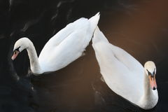 Two swans. On the river Stock Images