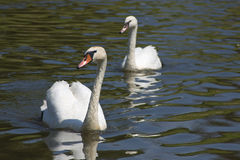 Two swans on river or lake. Two swans swim on river or lake toward us royalty free stock images