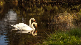 Two Swans. On a river at sunset Royalty Free Stock Photos