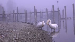 Two swans on the river in a very dark and cold day. HD stock footage
