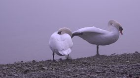 Two swans on the river in a very dark and cold day. HD stock video footage