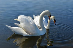 Two swans in the Round pond, Hyde Park, London Royalty Free Stock Photo