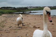 Two swans at the sea side. A beautiful pair of swans at the sea side Stock Images