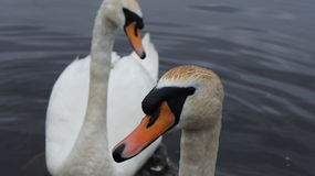 Two Swans seflie. Two Swans taken at Lough Melvin in Ireland Stock Images