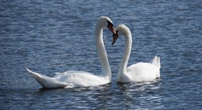 Two Swans on the Serpentine Royalty Free Stock Photos