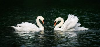 Two swans shining on dark water Royalty Free Stock Photos