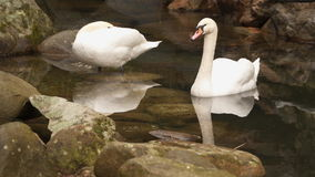 Two swans in a small pond. The pond is laid out with stones. The south coast of Crimea stock footage