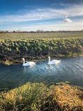 Two swans on a small river in a countryside field. Two swans floating along on a small river in a countryside field Stock Image