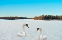 Two swans on a snow. Royalty Free Stock Photos