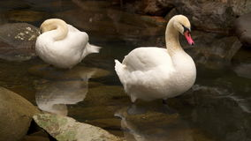 Two swans stand in the water and clean their feathers stock footage
