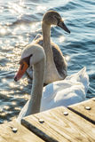 Two swans stock photo