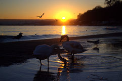 Two swans at sunset beach Stock Image