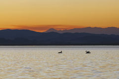 Two swans at sunset teenager swimming in the lake Royalty Free Stock Photography