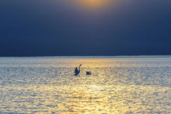 Two swans at sunset teenager swimming in the lake Royalty Free Stock Photos