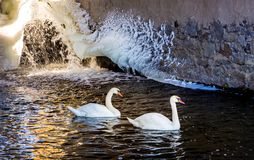 Two swans swim in dark water against background of wall covere royalty free stock photography