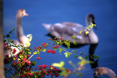Two swans swim in the lake. Red berries on the Bush and in autumn pond swans Royalty Free Stock Images