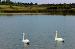 Two swans swim in a pond royalty free stock photos