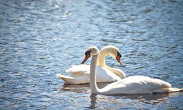 Two swans swim side by side along clear blue water in a pond Royalty Free Stock Photo