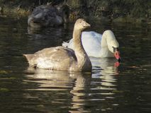 Two swans swiming on a green lake surface stock photo