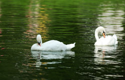 Two swans swimming Stock Photo