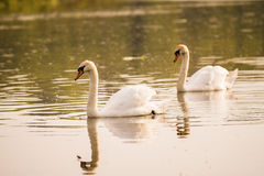 Two swans swimming Stock Photos