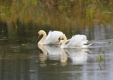 Two swans swimming on the lake Royalty Free Stock Photo
