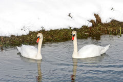 Two swans swimming in lake Stock Photo
