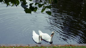 Two swans are swimming in a lake park stock video footage