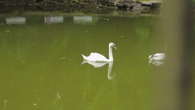 Two swans are swimming in a lake park. Slider footage stock footage