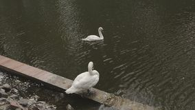 Two swans are swimming in a lake park.  stock footage