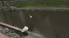 Two swans are swimming in a lake park.  stock video