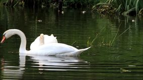 Two swans swimming in the lake and searching fodder stock footage