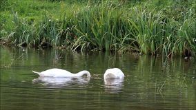 Two swans swimming in the lake and searching fodder. Two swans swimming in the lake stock video footage