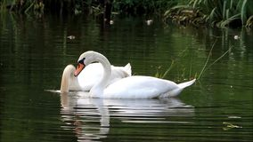 Two swans swimming in the lake and searching fodder stock video